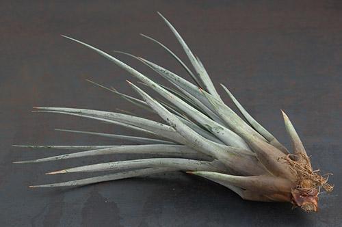 Fasciculata - Les Tillandsias